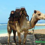 Naik Unta di Bali bersama Bali Camel Safari