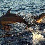 Atraksi dolphin di Lovina