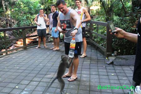 Kenakalan kera di monkey forest Ubud
