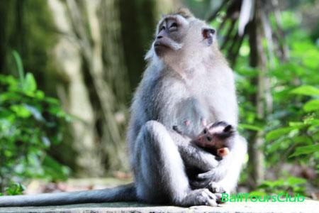 Objek wisata monkey forest Ubud