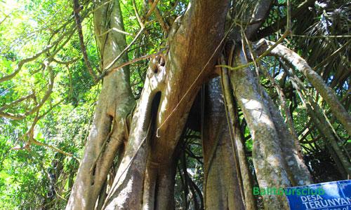 Pohon Taru Menyan di Pemakaman desa Trunyan
