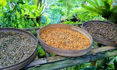 Biji Kopi Luwak Bali