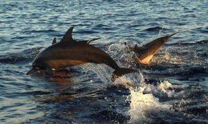 Paket Tour Bali Utara - Dolphin Lovina