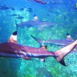 Wisata Ikan Hiu di Serangan