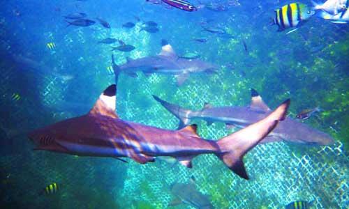 Wisata berenang ikan hiu di Bali
