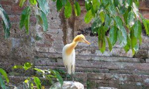 Kokokan di Desa Petulu Ubud