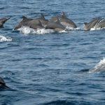 Tentang Lumba-Lumba atau dolphin
