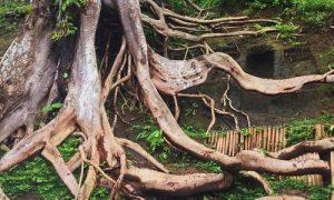 Akar kayu di Munduk Asri Payangan