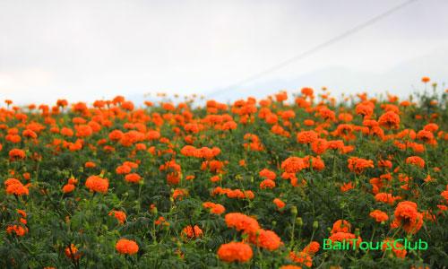 Ladang bunga Marigold Temukus