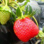 Wisata Petik Strawberry di Bedugul Bali