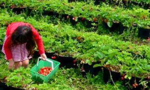 Wisata petik Strawberry di Bedugul