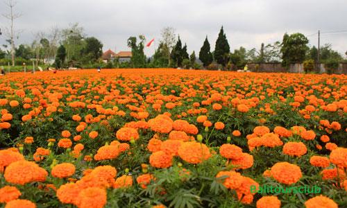 Ladang bunga Gemitir - Marigold di Petang