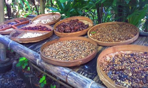 Biji kopi luwak di Agrowisata Bukit Sari Pecatu