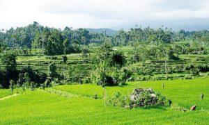 Pemandangan sawah di desa Iseh Sidemen