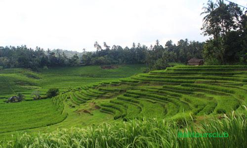 Desa Belimbing Pupuan - Sawah terasering