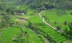 Objek wisata sawah terasering Busungbiu Buleleng
