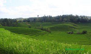 Sawah terasering di Desa Belimbing Pupuan