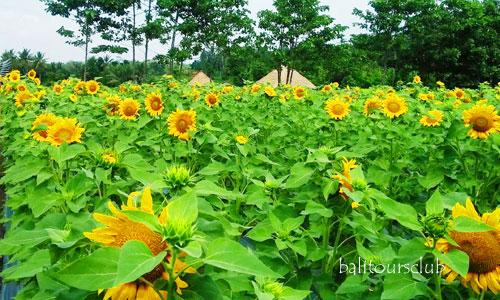 Kebun Bunga Matahari di Marga Tabanan