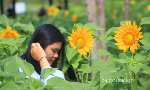 Sunflowers Garden - Kebun Bunga Matahari di Bali