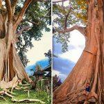 Pohon Raksasa di Desa Tua