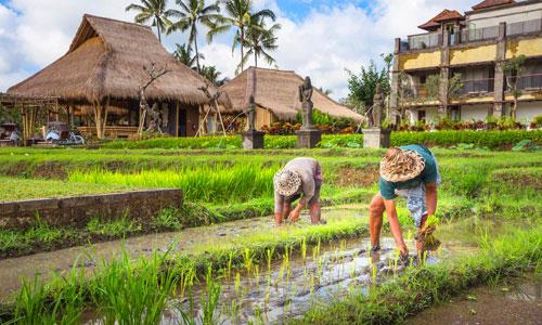 Bercocok tanam di Desa Visesa Ubud