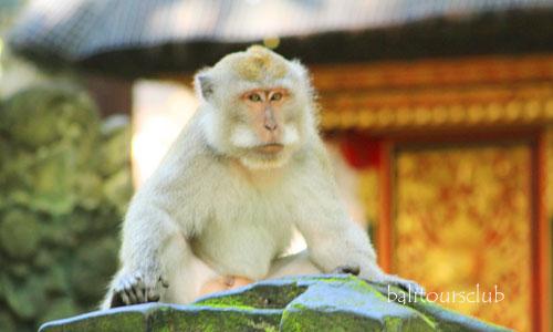 Hutan monyet di pulau Bali