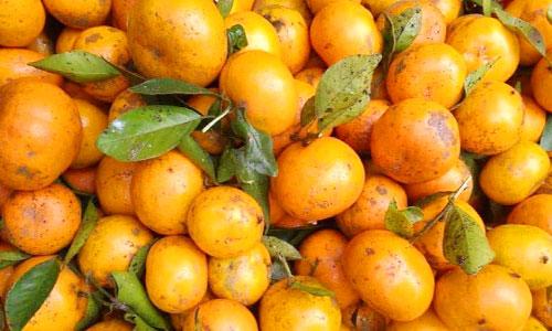 Jenis jeruk siam di Kintamani