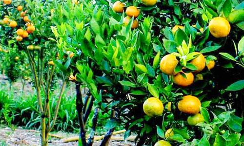 Kebun jeruk di Kintamani Bali