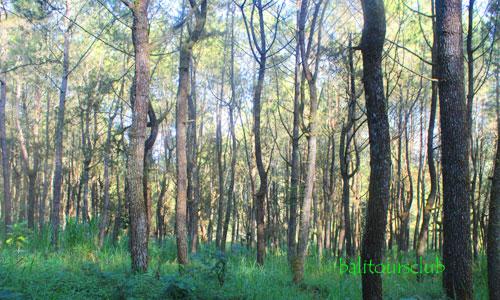 Wisata hutan pinus di Bali
