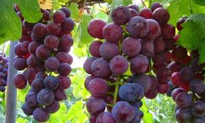 Agrowisata kebun anggur di Buleleng